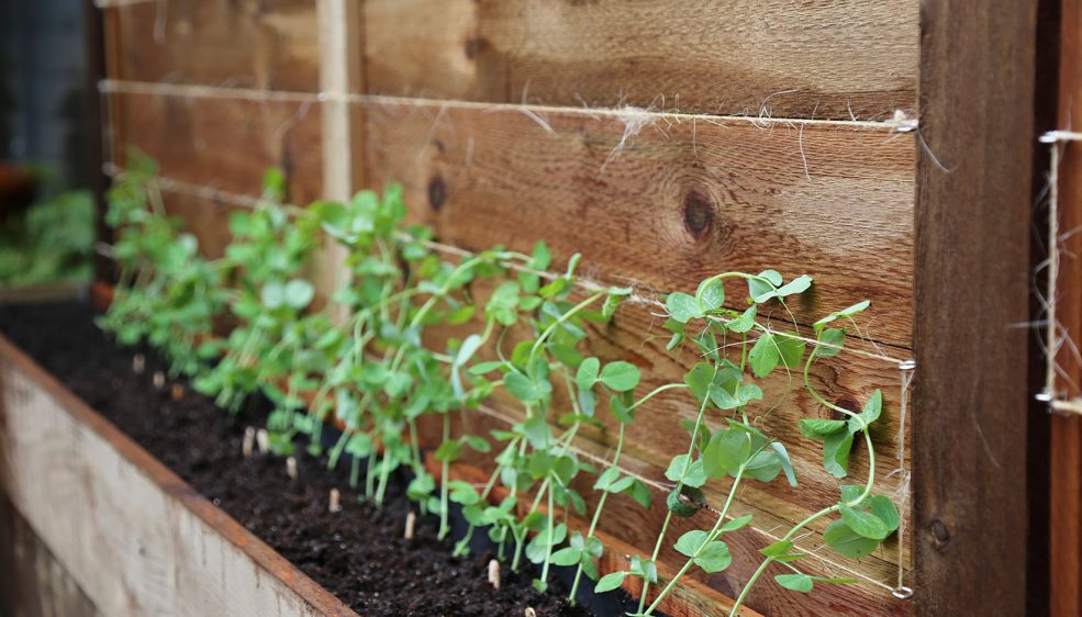Alderman peas in a wooden planter box