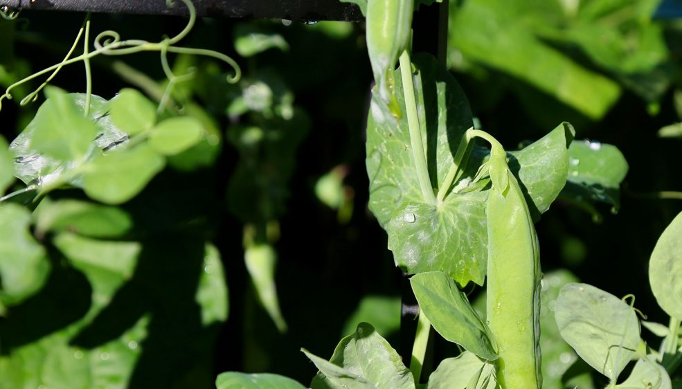 Close up photo of sugar snap peas on the vine