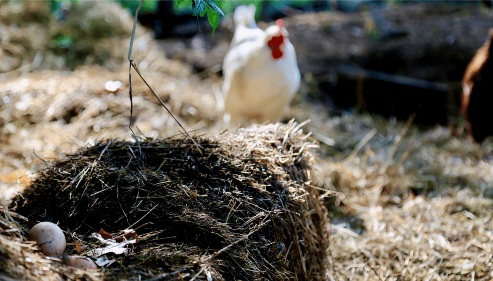 Bait eggs keep predators away from the henhouse, demonstrating permaculture's 'fair share' ethic